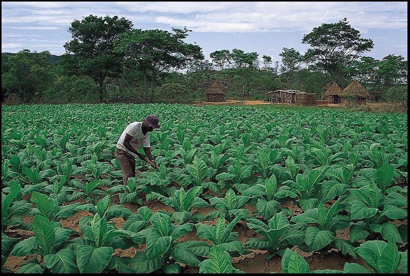 worker on Cuban tobacco farm