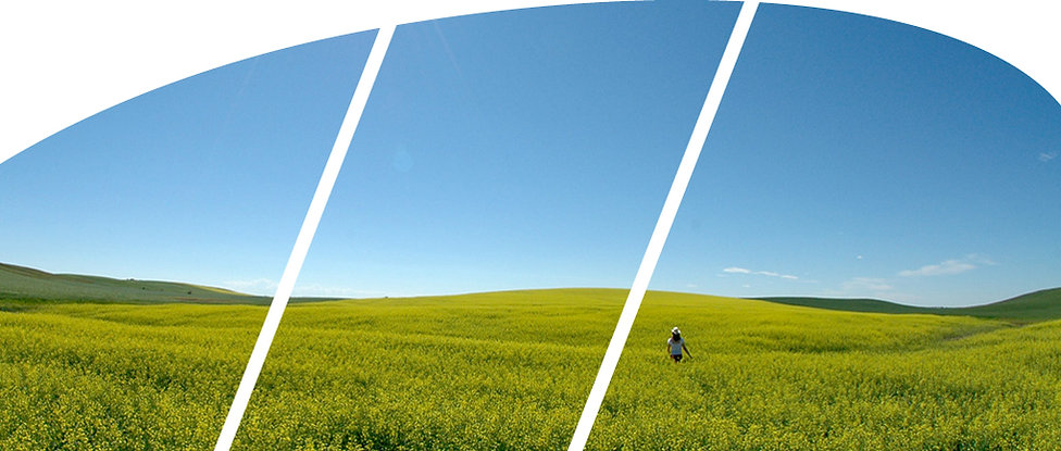 arched canola.jpg