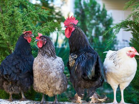 Chicken Law, ya'll