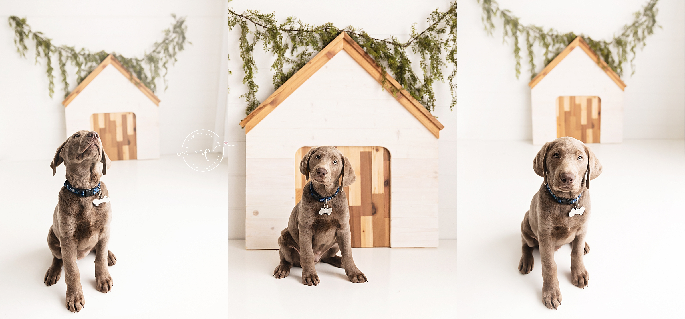 Silver Lab - Diesel - Calgary Pet Photographer - Meagan Paige Photography