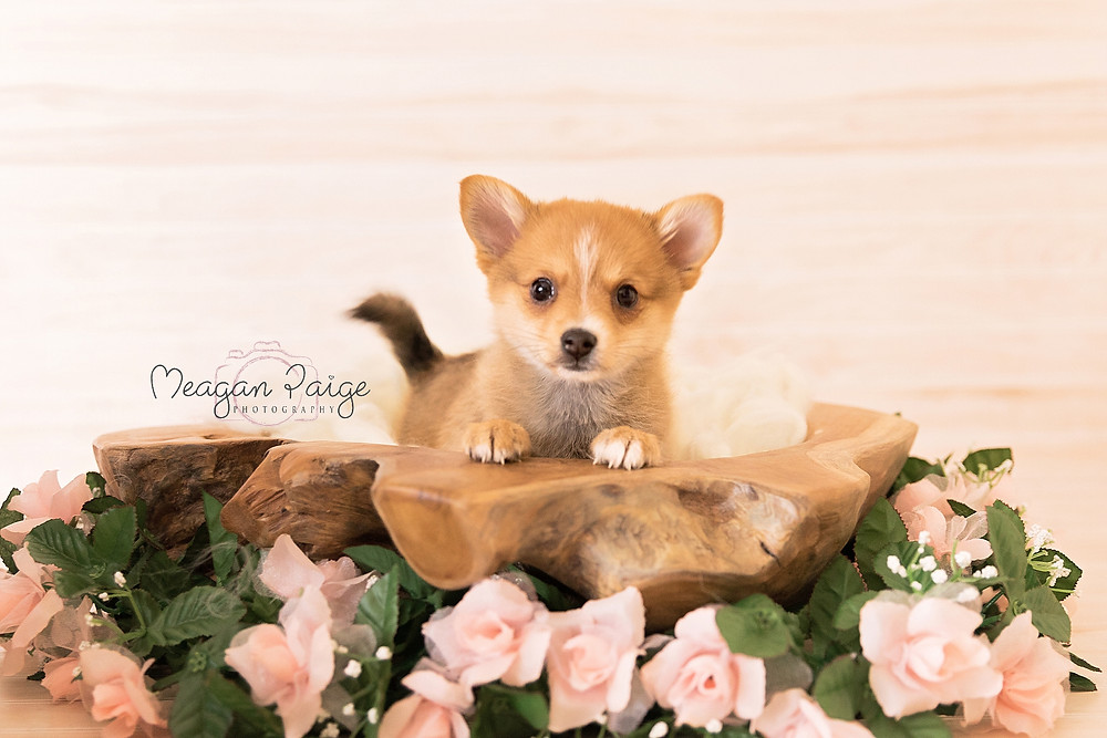 Newborn Puppy Calgary Photography - Meagan Paige Photography