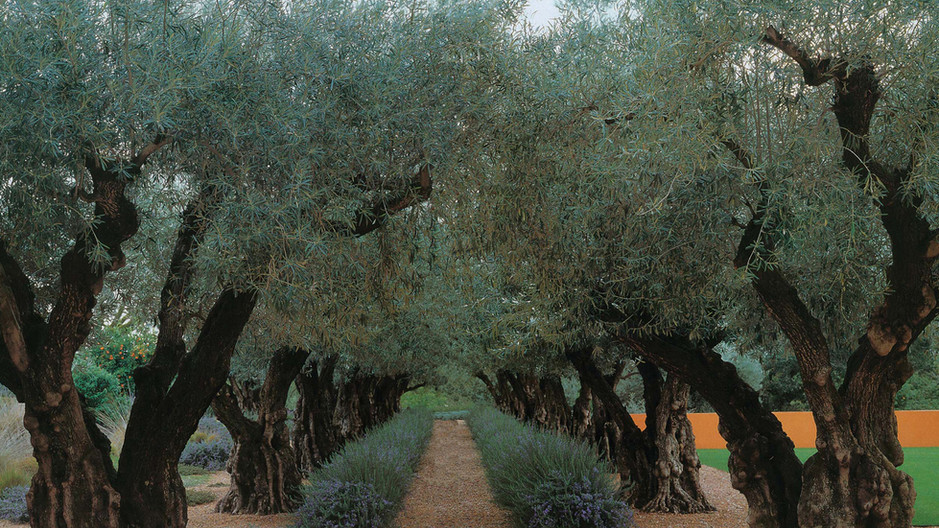 Meandering olive grove
