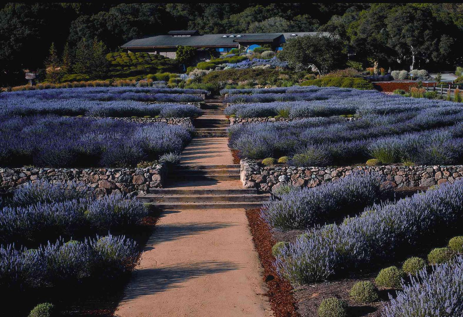 Matanzas lavender- small