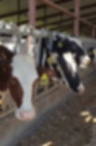 Ozaukee County Demonstration Farm Network - Cows