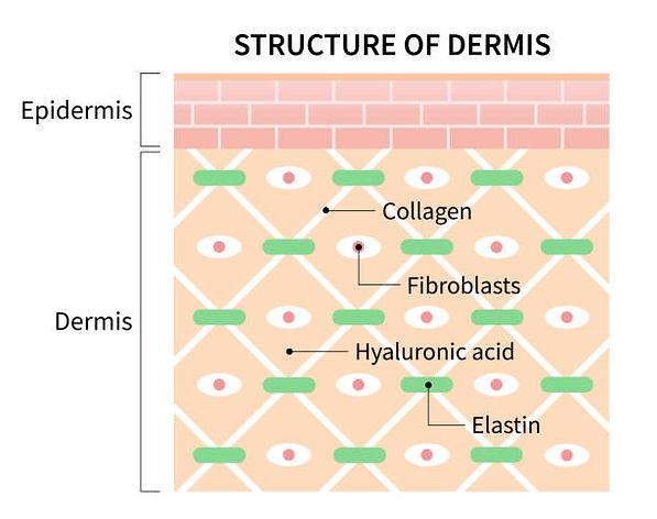 Structure of Dermis.jpg