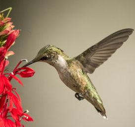 HUMMNGBIRD.jpg