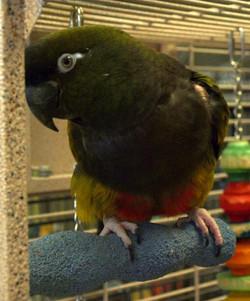 Princess   AZ Exotic Bird Rescue