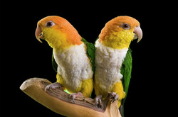 Candy & Scittles   Exotic Bird