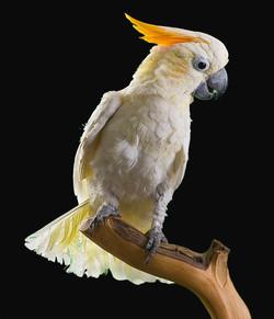 Henry   AZ Exotic Bird Rescue