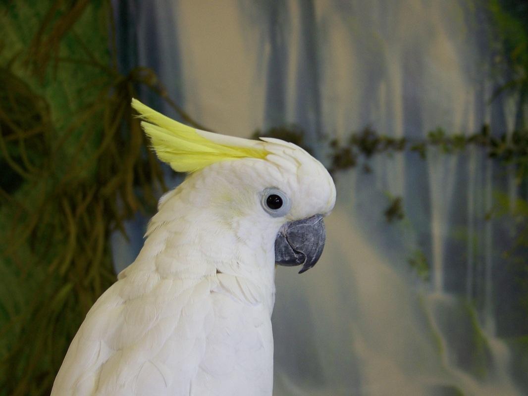 Elvis   AZ Exotic Bird Rescue