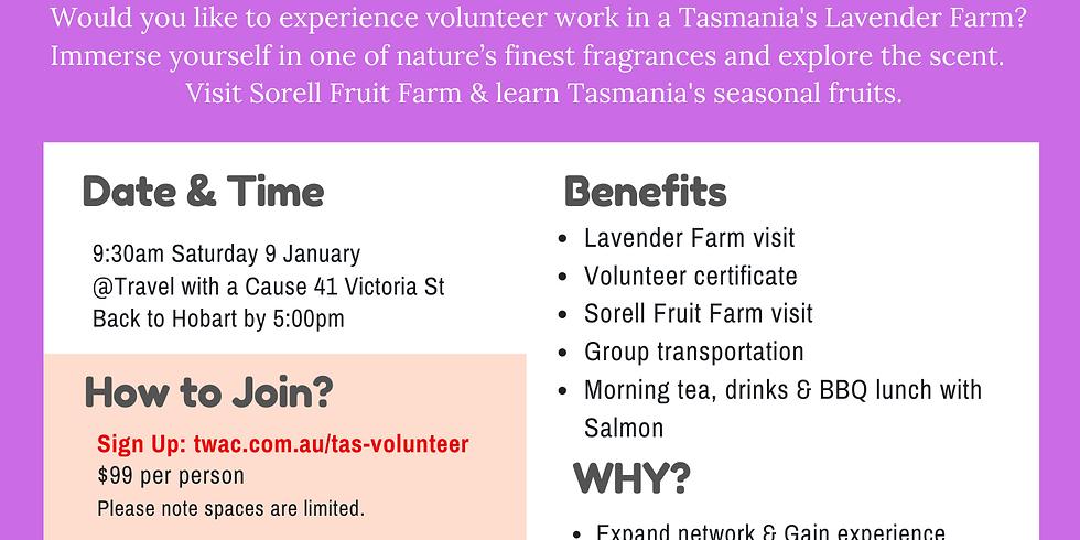 Lavender Farm Volunteer