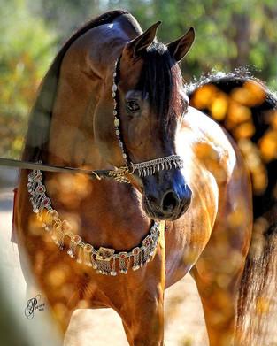 Arabian Horse Artist Spotlight: Nancy Pierce
