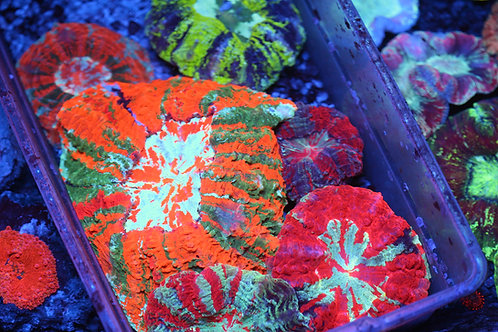 Meat Corals