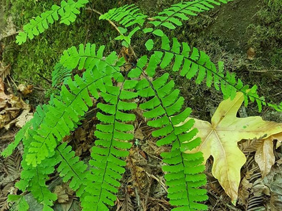 Western maidenhair fern       (Adiantum aleuticum)