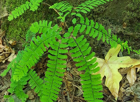 October's Plant of the Month    Western maidenhair fern       (Adiantum aleuticum)