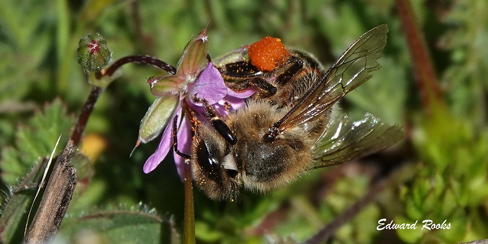 Companions of Spring Wildflowers: Bees as a Band of Mutualists (Virtual Nature4All Hike)