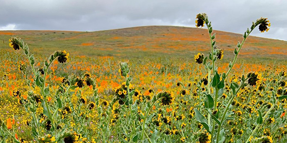 Antelope Valley California Poppy State Natural Reserve