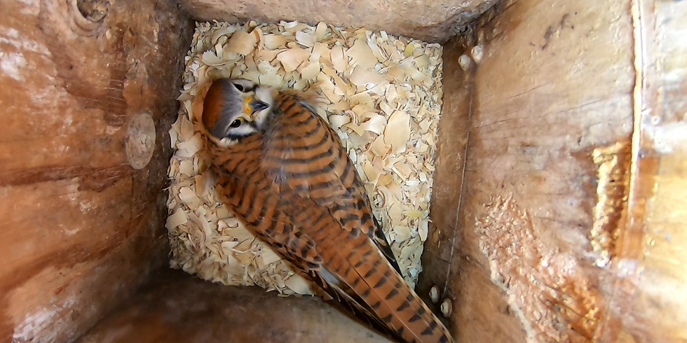 Raptor Boxes and Other Big Cavity Nesting Birds