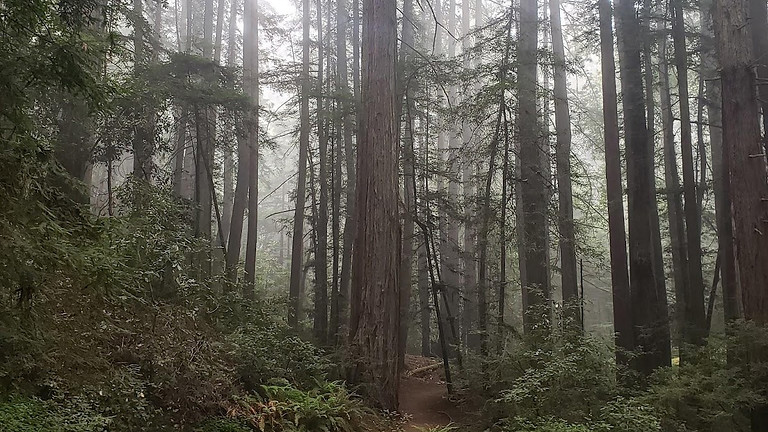 Giants of the Fog Belt--Redwoods, Mountain Lions, and Historic Ruins