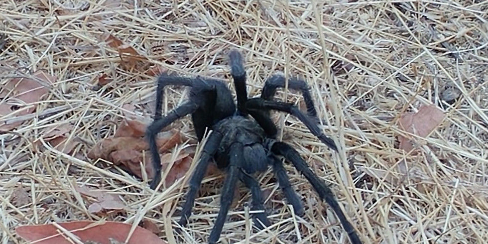 Fright Nights - Tarantula Hike