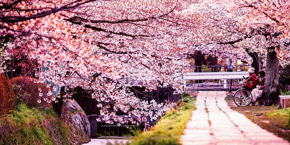 Tokyo, Japan Cherry Blossoms with Noriko Nagahori at Mizumoto Park
