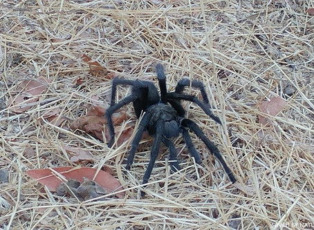 October's Animal of the Month         The Tarantula