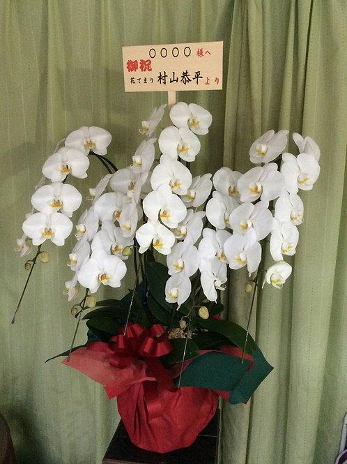 胡蝶蘭5本
