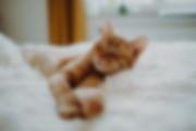 Tierfotos Katzenfoto Tierfotografie rote Katzen Karlo Pepper entspannt Decke Tierschutz Catkeen Rumänien