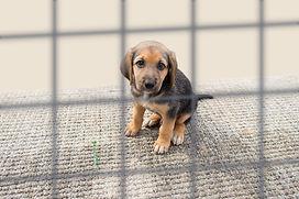 bigstock-Sad-Puppy-In-A-Kennel-104190890