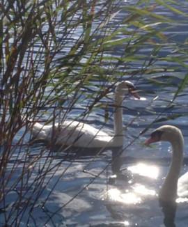I cigni del lago