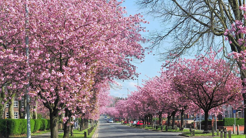 Blackpool Road Blossom