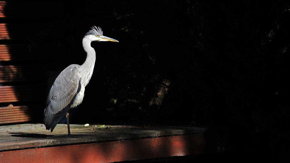 Heron along Canal