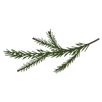 Pine Spruce Branches 7