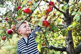 a-small-boy-picking-apples-in-orchard-3R