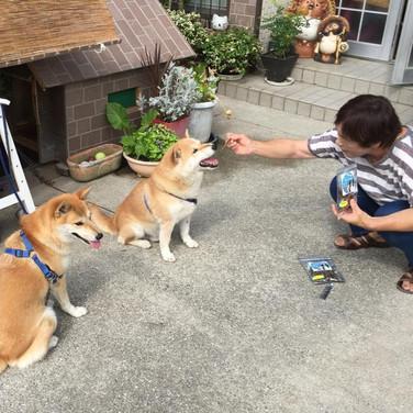 天然・国産・無添加・無着色・天日干し bau-bau 犬のおやつ をもらう柴犬