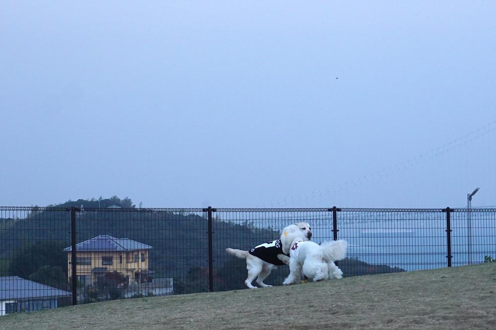 ドッグランで興奮状態の犬