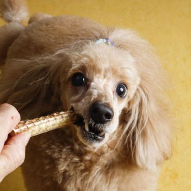 天然・国産・無添加・無着色・天日干し bau-bauの犬のおやつを食べるプードル