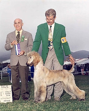 Ch Afghan Hound Puppy winning