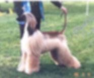 Ch Afghan Hound Puppy