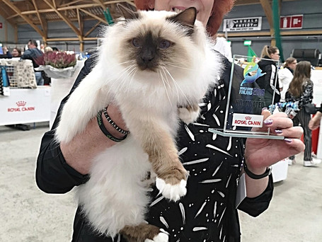 Secrets Revealed: How Your Long Haired Feline Can Compete With The Pro's