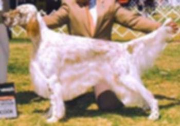 English Setter Show Dog