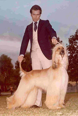 Champion Afghan Hound