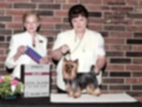 Champion Winning Yorkie