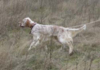 Engish Setter In Field