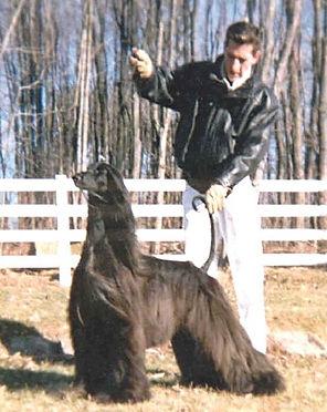 Ch Afghan Hound