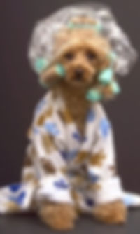 Poodle in Robe and Curles