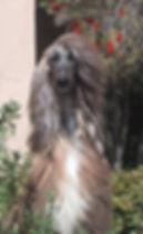 Ch Afghan Hound Head Study