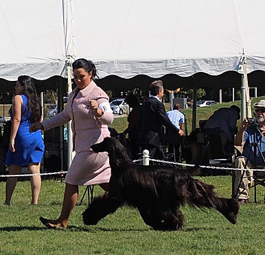 Ch Afghan Hound Moving