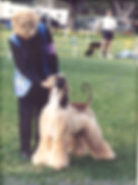 ChAfghan Hound Puppy