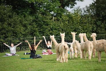 Rosebud Alpacas, Alpaca Yoga, Devon